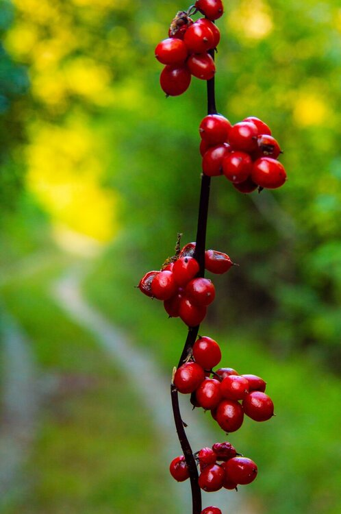 Red berries hanging from a branch on an abandoned road, in the wilderness of the mountain Ozren, Bosnia and Herzegovina.jpg